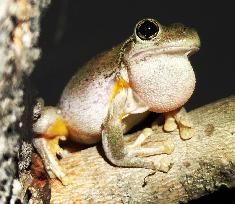 Peron's Tree Frog, Litoria peroni
